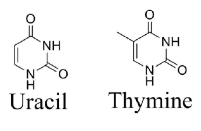 diagram of thymine