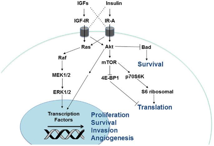 Cellular signaling pathways downstream of the insulin/IGF receptors