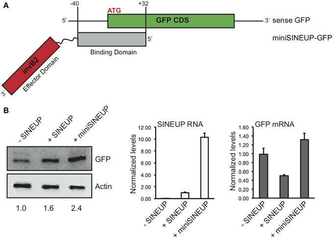 Short SINEUPs are active (A) Domain organization of miniSINEUP-GFP