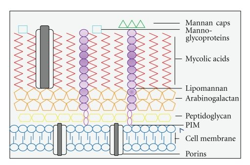 The structure of the Mycobacterium tuberculosis cell wall This