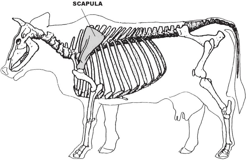 cow skeletal diagram