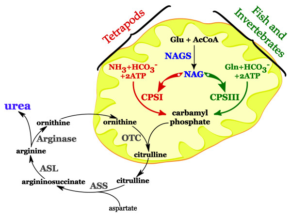 Urea cycle in tetrapods, fish and invertebrates The first three - urea cycle