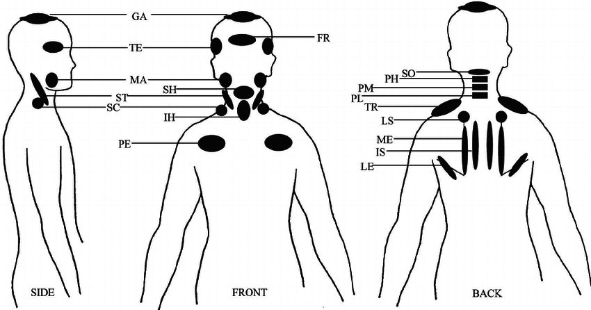 pectoralis diagram ma