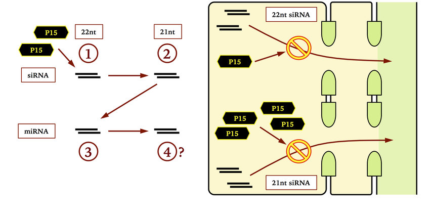 9 P15FHA sRNA sequestration hierarchy in vivo Schematic