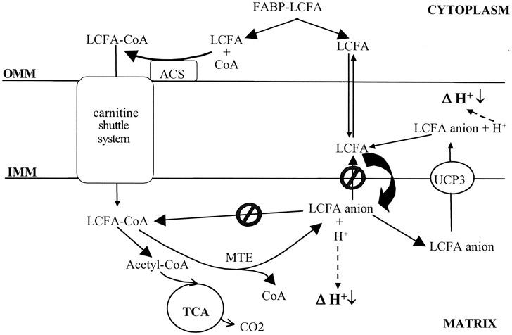 Schematic model of UCP3\u0027s putative function UCP3 functions to