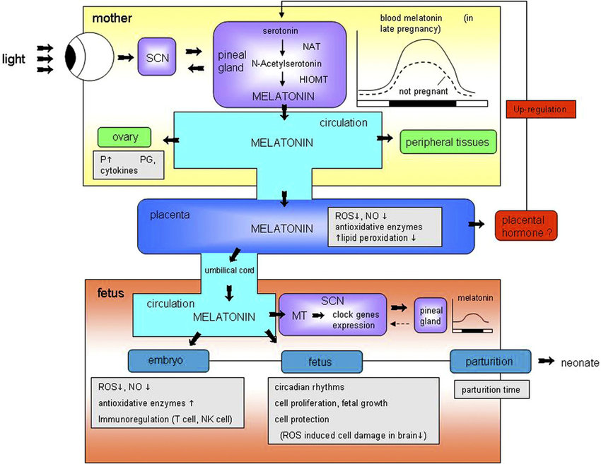 Schematic representation of the proposed entrainment pathway and