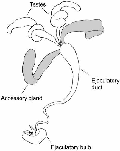 diagram of sperm gland