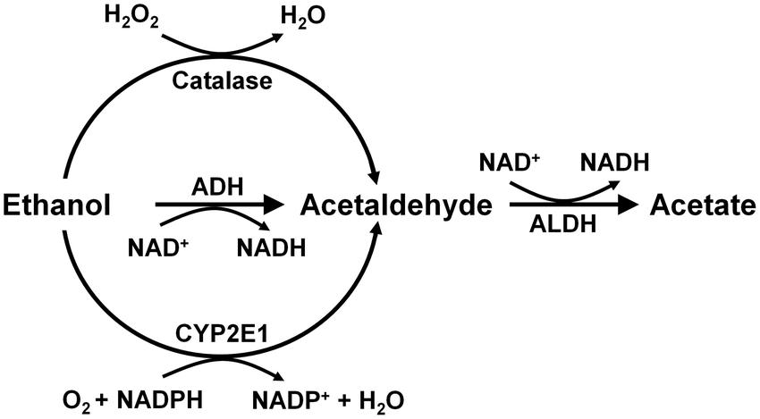 enzymatic liver diagram