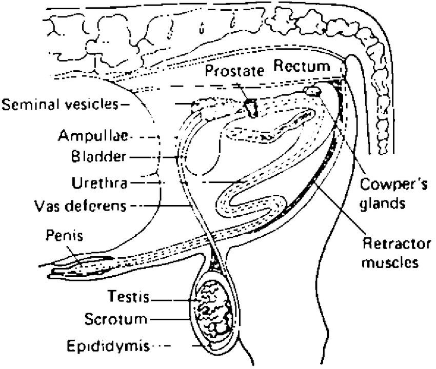 bull reproductive tract diagram