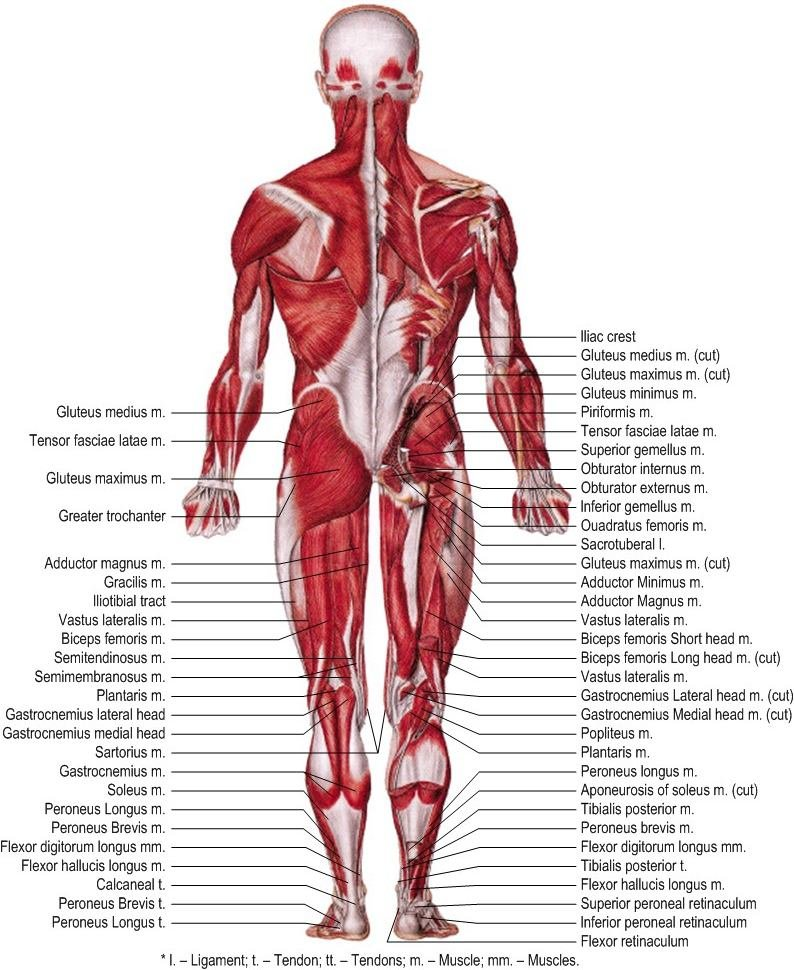 Muscles of human body lower extremity (Posterior view) 27