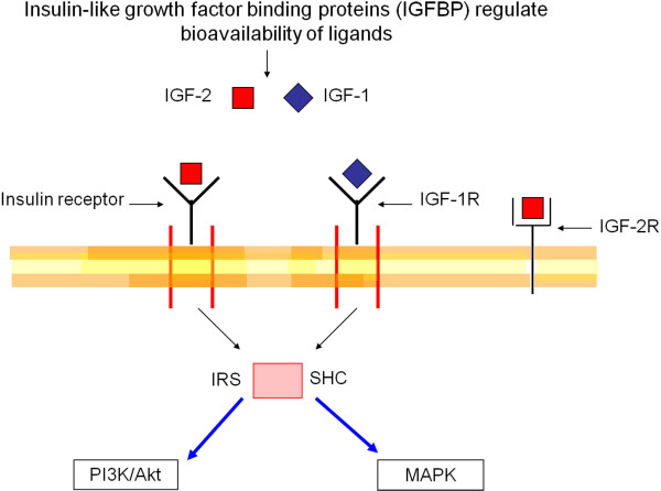 Insulin-like growth factor pathway Bioavailability of the ligands
