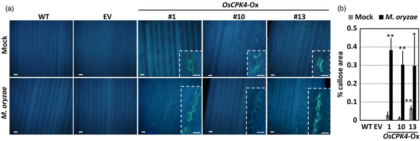 Callose Deposition In Oscpk4 Overexpressing Rice Leaves