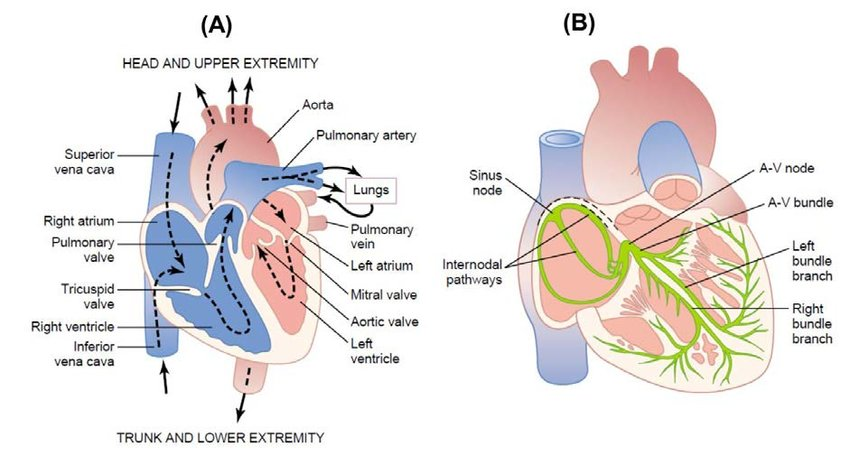 Structure of the Human heart Panel (A) shows different heart