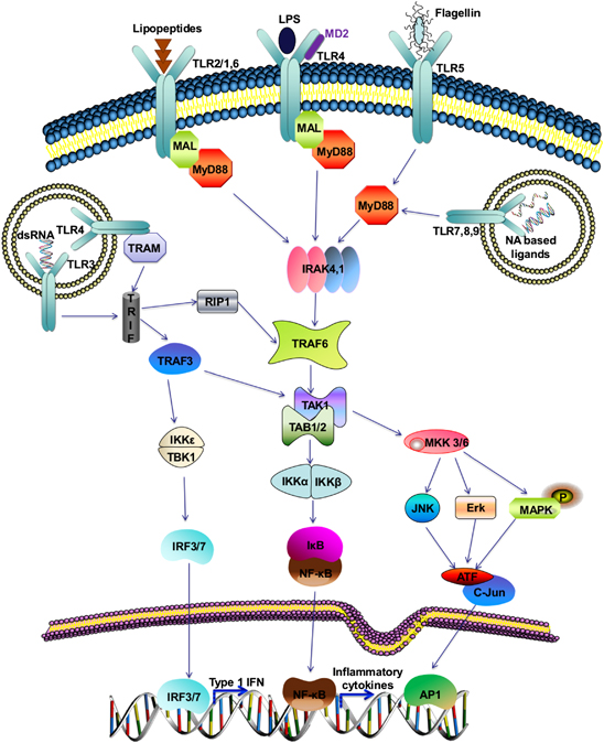 Overview of the Toll-like receptor (TLR) signaling pathway When