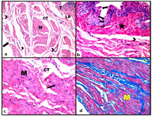 Light microscopic pictures of urinary bladder from control rats