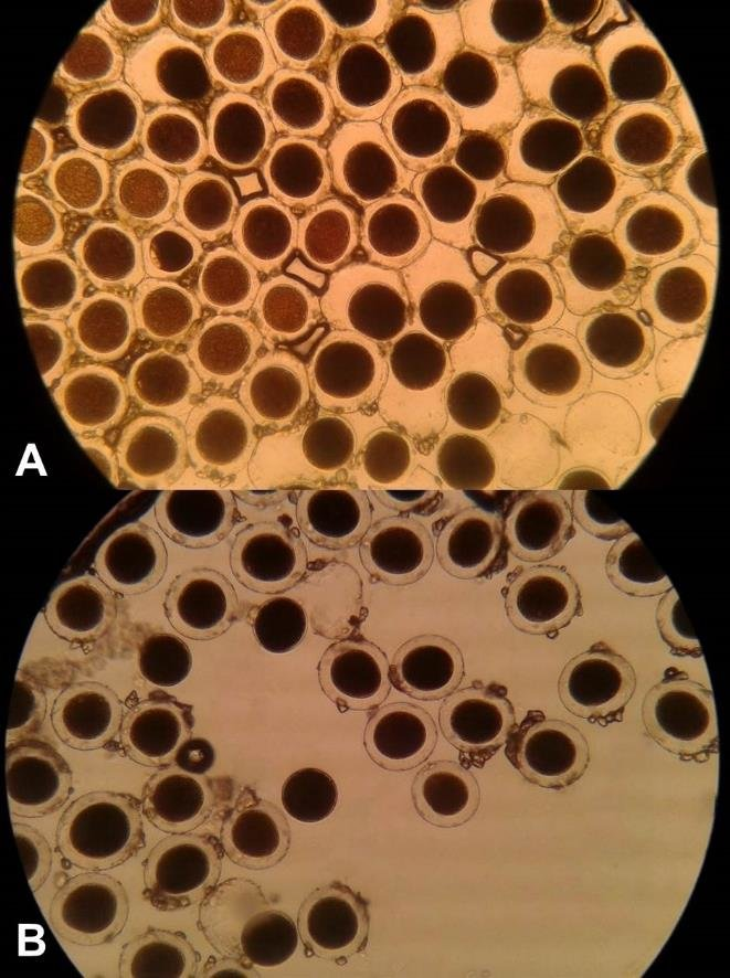 Pollen viability of H conoidea under light microscope (100×) IKI