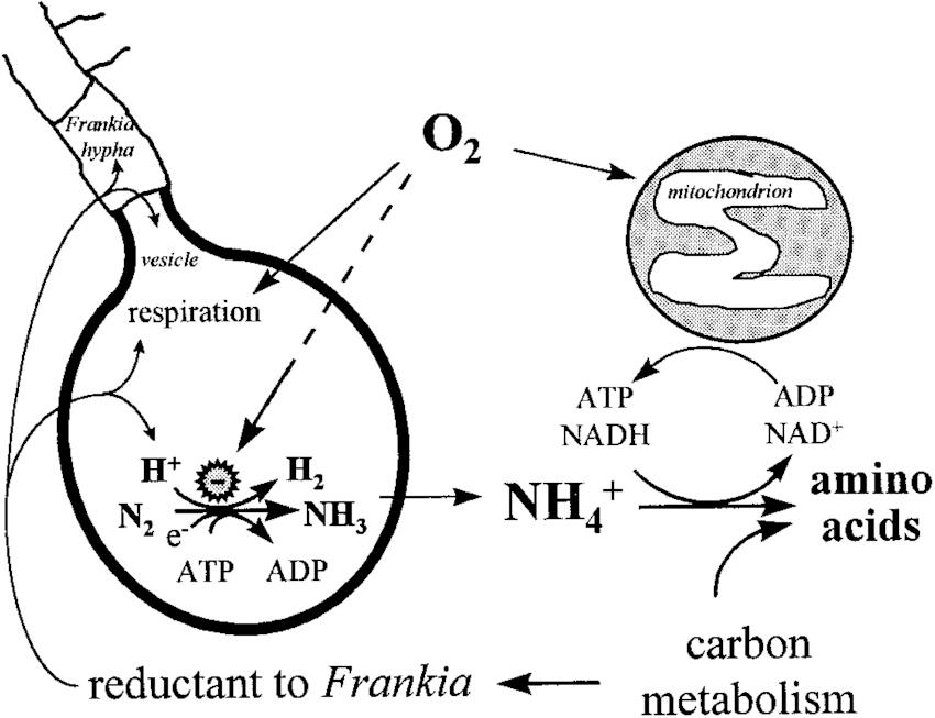 simple metabolic diagram