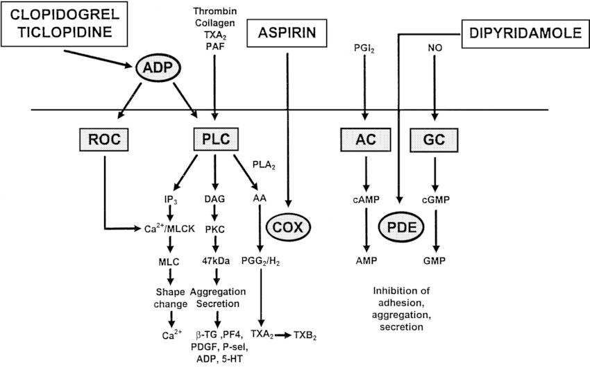 diagram of adp