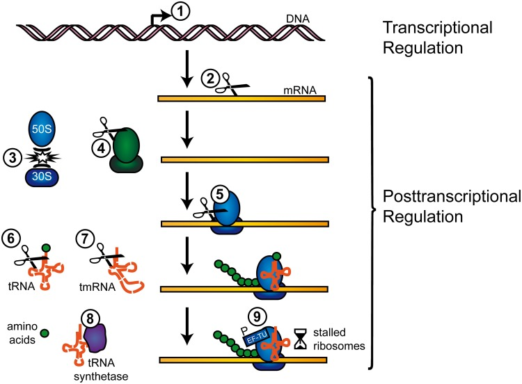 Regulation of transcription and translation by TA systems TA