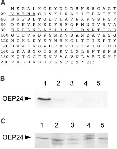OEP24 Is Localized in the Chloroplastic Outer Envelope from Pea and