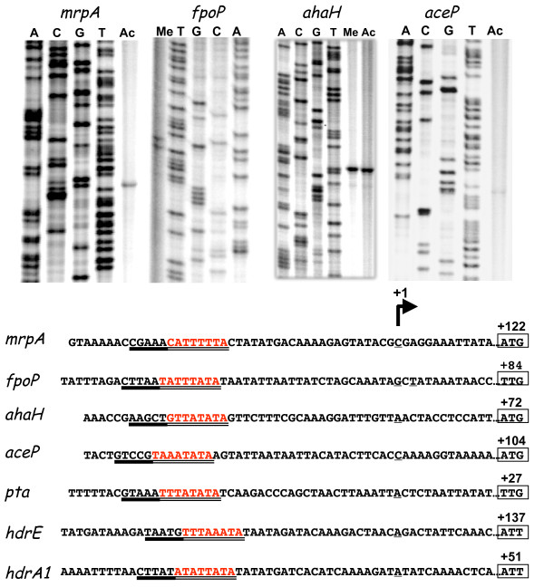 Location of the mRNA 5\u0027ends for the hdrE1, hdrA1, mrpA, fpoP, pta - ahaa