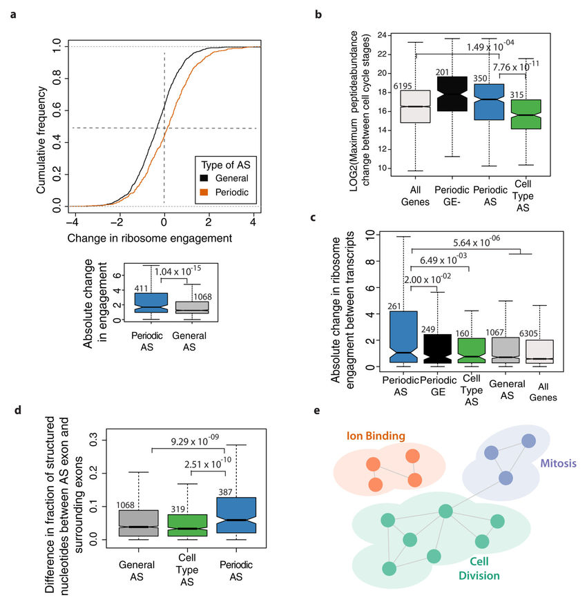 Cell cycle-regulated AS events control ribosome engagement