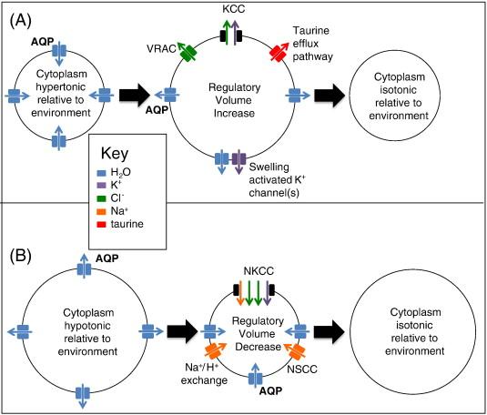 homeostasis cell diagram