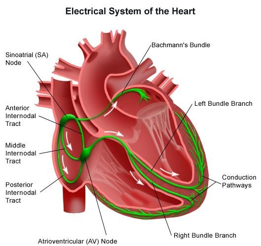 Electrical system of the Heart Download Scientific Diagram