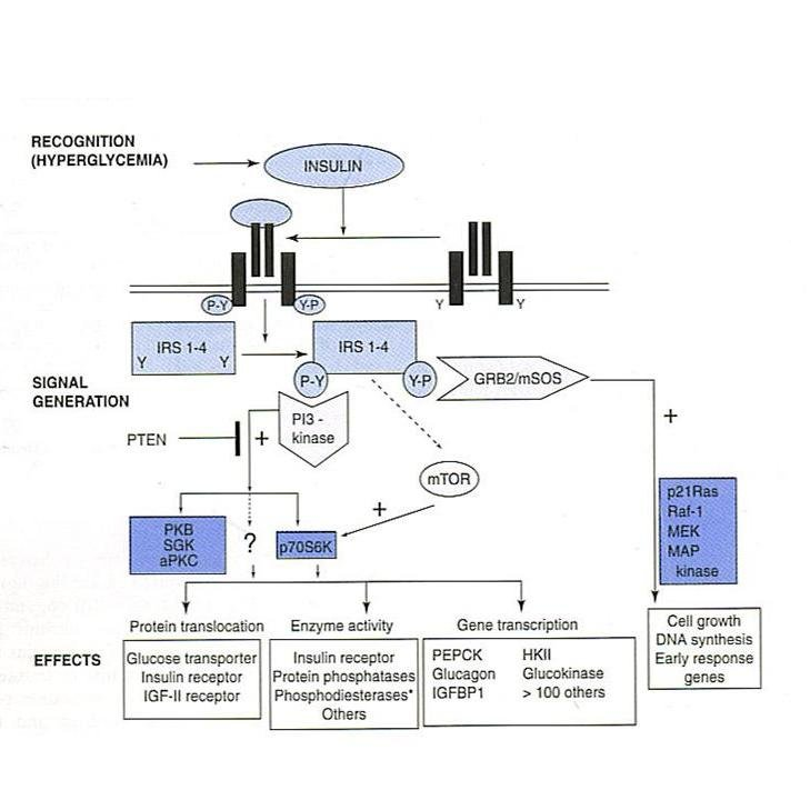The Insulin Signalling Pathway (Adapted from Harper\u0027s Biochemistry