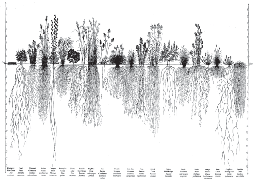 prairie root system diagram