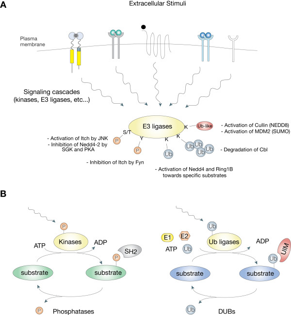 Regulation of E3 activities by post-translational modifications A
