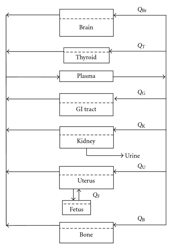 diagram fetus first trimester