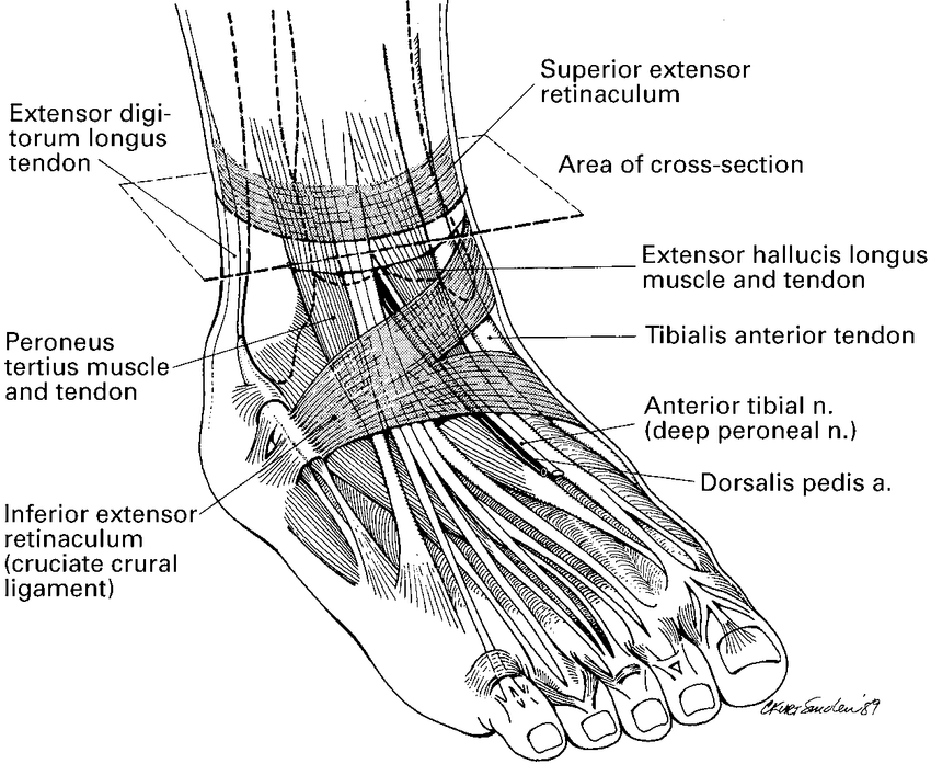 ankle foot bones diagram
