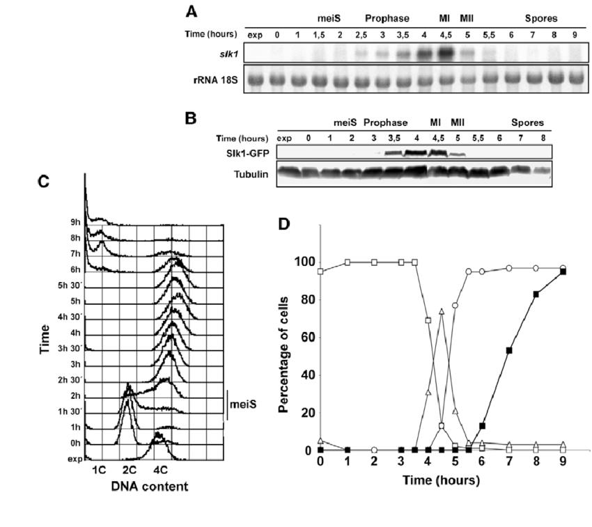meiosis ii diagram