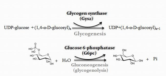 Glycogenesis and gluconeogenesis in the liver (modified from