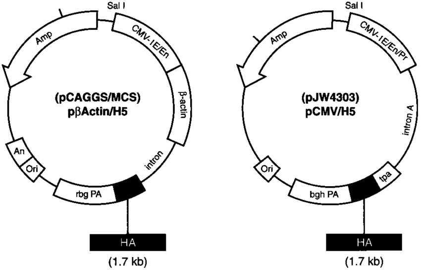 hemagglutinin diagram