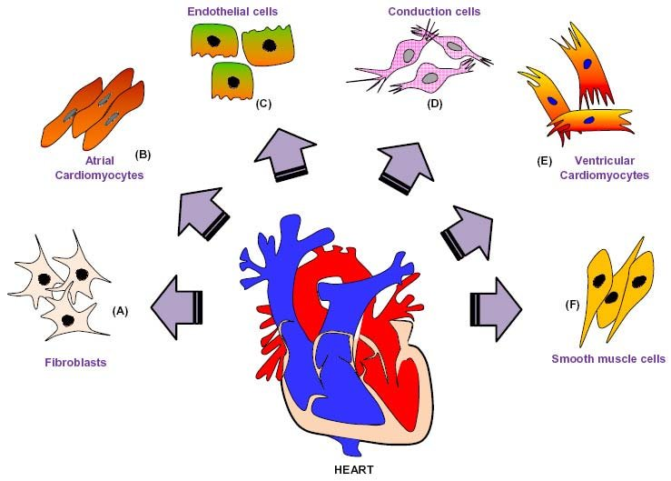 Schematic presentation of cardiac cell types The adult heart