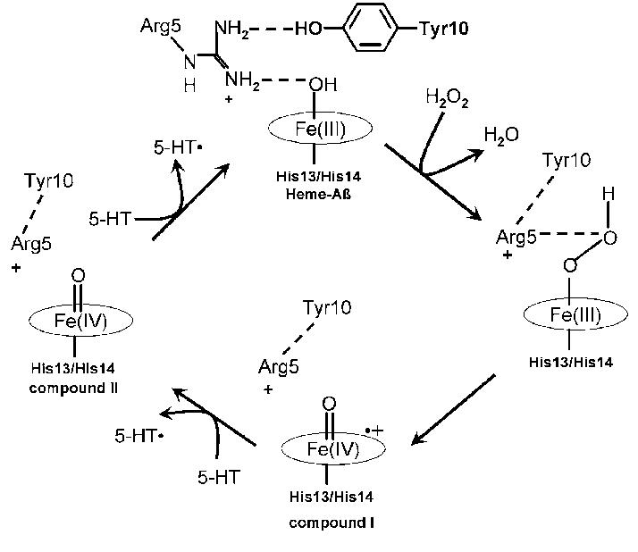 structure of myoglobin diagram