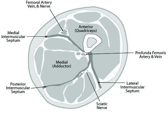 Cross-sectional anatomy of the thigh, demonstrating the anterior