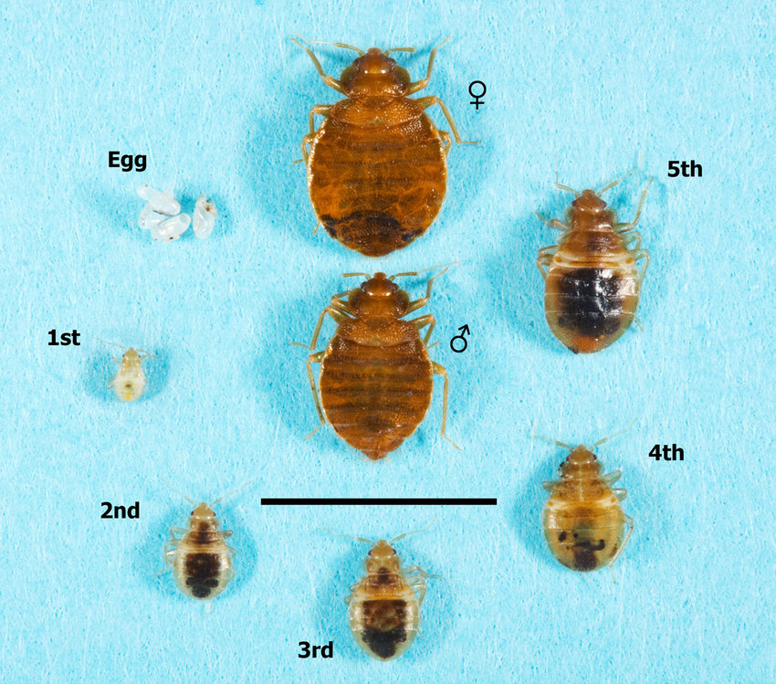The various life stages of the common bed bug, Cimex lectularius