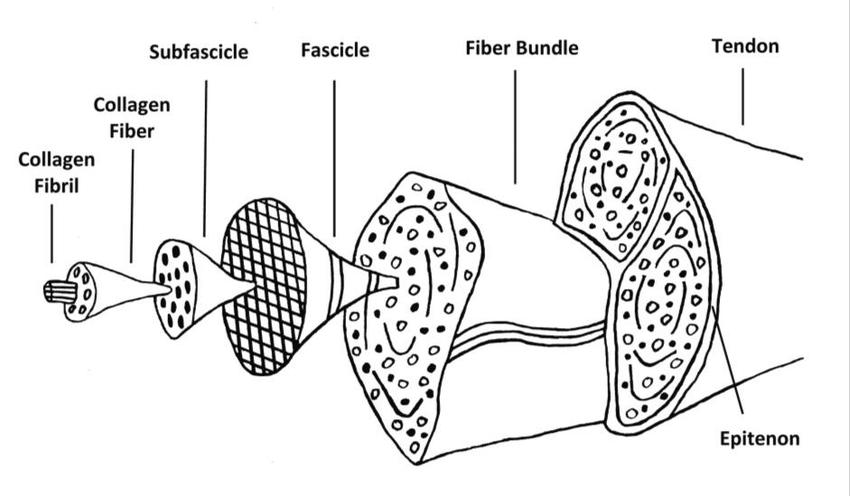 forearm tendon diagram