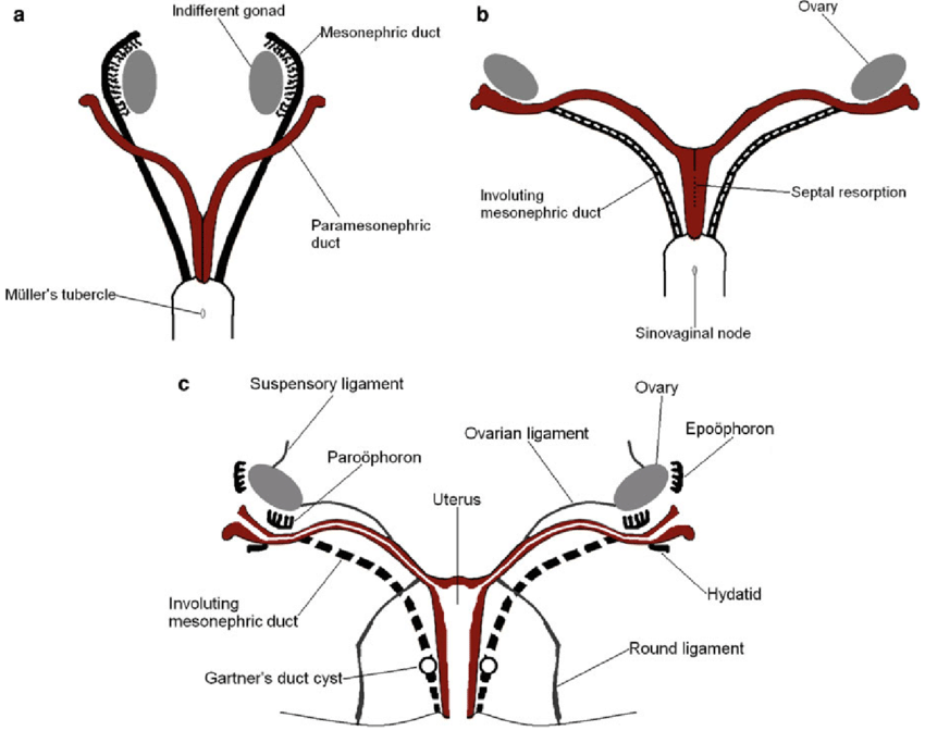 diagram of fetus in uterus