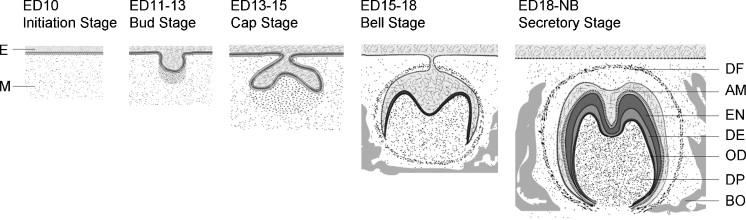Schematic diagrams of tooth development AM ameloblasts, BO
