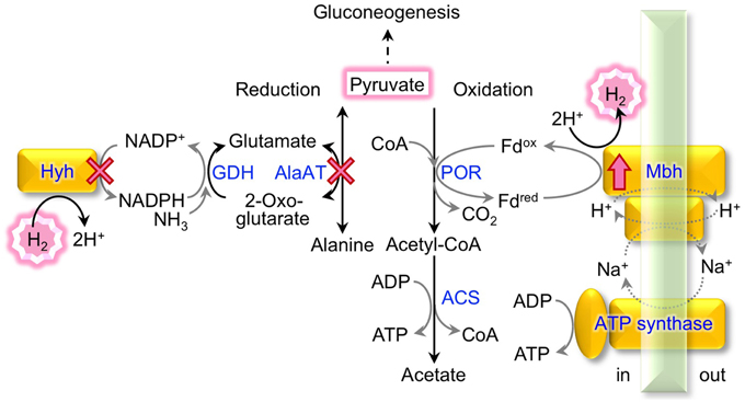 Pyruvate conversion and H2 metabolism in T kodakarensis The
