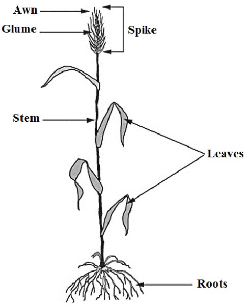 diagram of oats