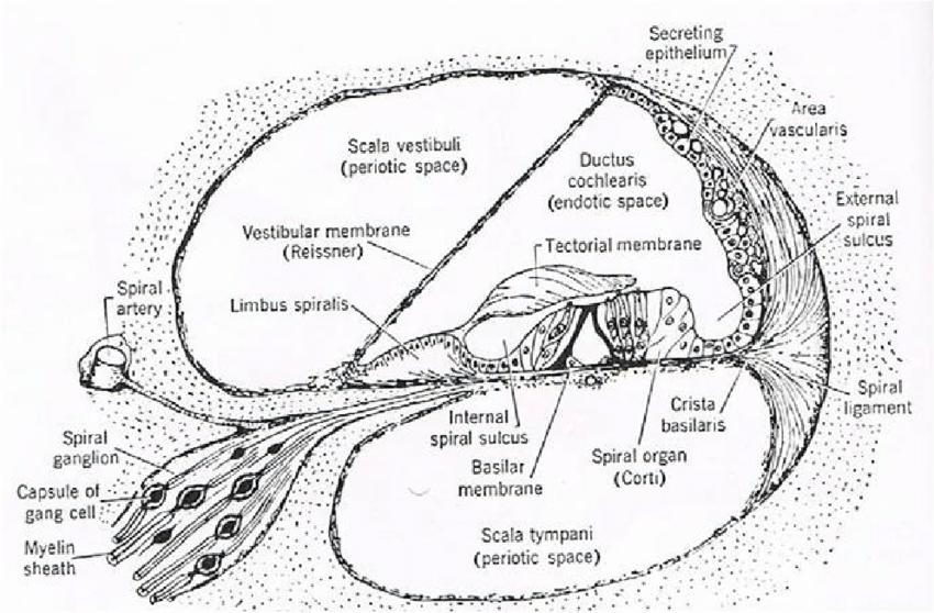 cochlea diagram detailed