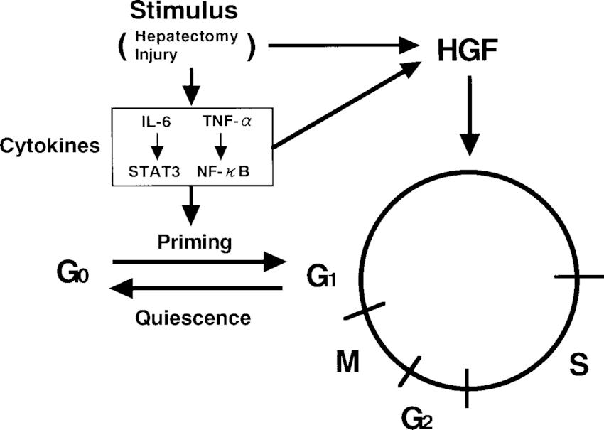 role of interleukin auto electrical wiring diagramrole of interleukin