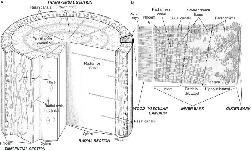 softwood stem diagram