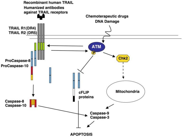 ATM kinase activity modulates TRAIL sensitivity DNA damaging agents