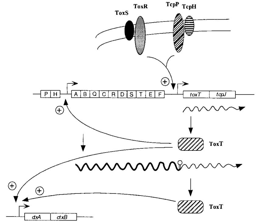 rna operon diagram